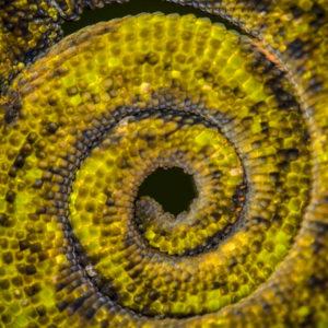 Johnstone's Three Horned Chameleon Tail