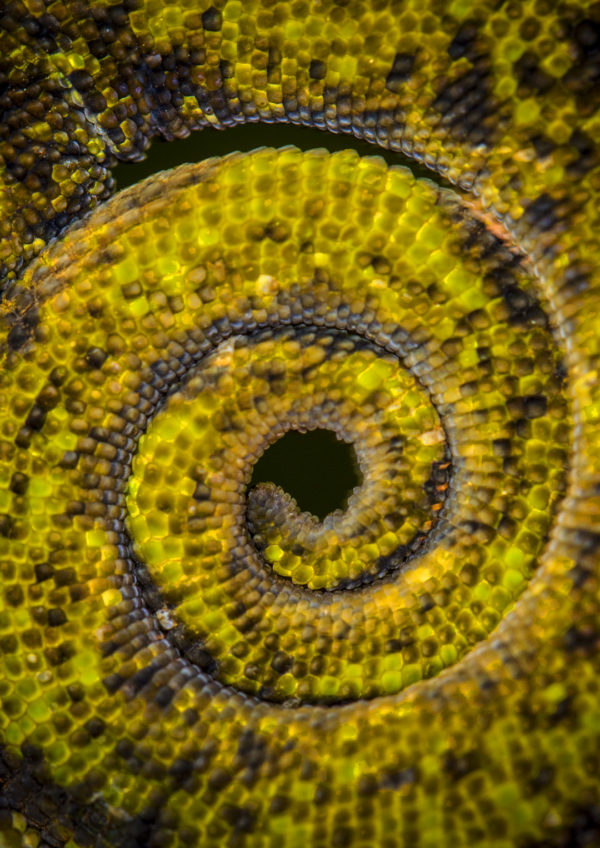 Johnstone's Three Horned Chameleon Tail
