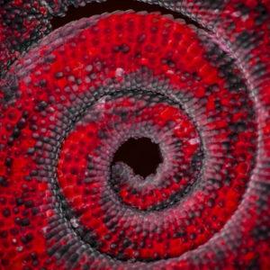 Chameleon Tail - Red
